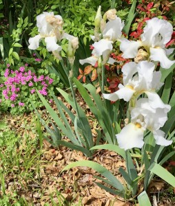 2017-04-12.AgBlog.No 01.Iris in bed