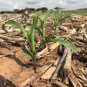 2017-04-12.AgBlog.No 03.Corn.young plant row.Chickasha.April 12 2017