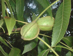 Pecan leaves and nuts crop