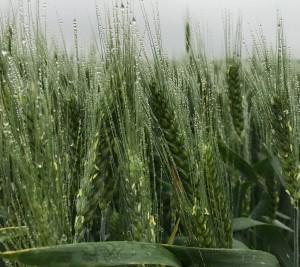 Wheat dew on heads(2)